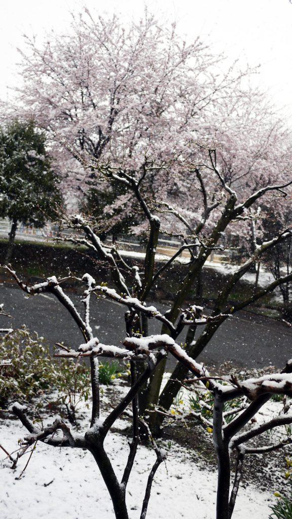 桜に季節外れの雪